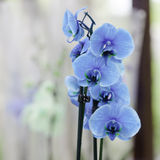 Orquídeas azules hermosas Fotos de archivo