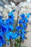 Orquídeas azules y blancas Foco selectivo en rama de la orquídea azul Imagen de archivo libre de regalías
