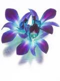 Orquídeas azules y púrpuras Imágenes de archivo libres de regalías