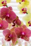 Orquídeas bañadas por la luz de la ventana Fotos de archivo