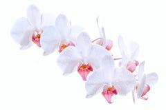 Orquídeas blancas Imagen de archivo