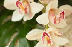 Orquídeas blancas Imagen de archivo libre de regalías