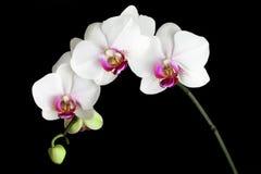Orquídeas blancas Imágenes de archivo libres de regalías
