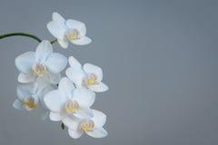 Orquídeas blancas con el espacio gris del fondo y de la copia Imágenes de archivo libres de regalías