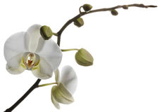 Orquídeas blancas de fascinación aisladas en un fondo blanco Imagen de archivo