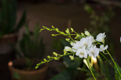 Orquídeas blancas en el jardín Imagenes de archivo