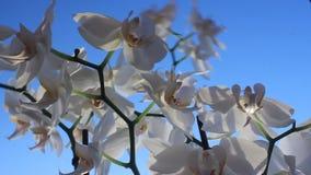 Orquídeas blancas en el viento almacen de video