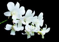 Orquídeas blancas en las flores negras del fondo Fotografía de archivo libre de regalías