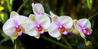 Orquídeas blancas rosadas hermosas Imagen de archivo libre de regalías