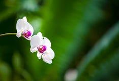 Orquídeas blancas y púrpuras Imagen de archivo libre de regalías