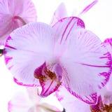 Orquídeas blancas y rosadas en una rama Fondo blanco Imagen de archivo