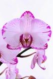 Orquídeas blancas y rosadas en una rama Fondo blanco Imagen de archivo libre de regalías