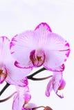 Orquídeas blancas y rosadas en una rama Fondo blanco Fotos de archivo