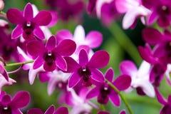 Orquídeas bonitas Fotografia de Stock Royalty Free