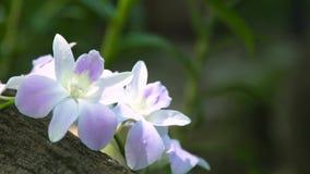 Orquídeas bonitas das flores brancas no fim da floresta úmida acima Orquídea tropical que floresce no jardim do verão Flores selv vídeos de arquivo