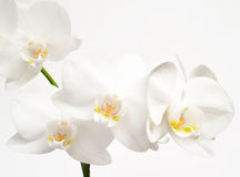 Orquídeas brancas Imagem de Stock