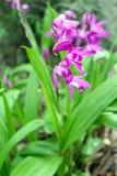 Orquídeas brancas e roxas tropicais Imagem de Stock