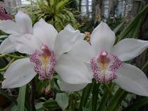 Orquídeas brancas, flores brancas, flores exóticas Imagem de Stock Royalty Free