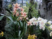Orquídeas brancas, flores brancas, flores exóticas Imagens de Stock