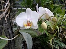 Orquídeas brancas, flores brancas, flores exóticas Imagens de Stock Royalty Free