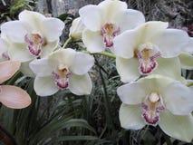 Orquídeas brancas, flores brancas, flores exóticas Fotos de Stock