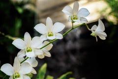 Orquídeas brancas na haste Fotografia de Stock Royalty Free