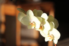 Orquídeas branco-amareladas na luz do por do sol Fotos de Stock Royalty Free