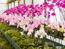 Orquídeas coloridas Fotografia de Stock Royalty Free