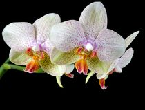 Orquídeas coloridas Fotografia de Stock