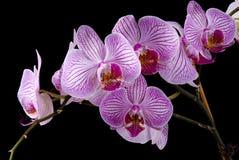 Orquídeas coloridas foto de stock