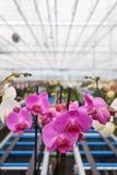 Orquídeas coloridas en invernadero Imagen de archivo