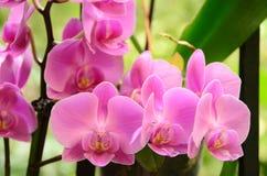 Orquídeas cor-de-rosa Foto de Stock Royalty Free