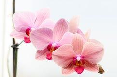 Orquídeas cor-de-rosa foto de stock