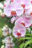 Orquídeas cor-de-rosa bonitas Foto de Stock Royalty Free