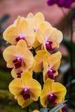 Orquídeas cor-de-rosa e amarelas de Vanda foto de stock