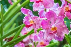 Orquídeas cor-de-rosa, Mokara, Vanda Imagens de Stock