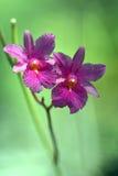 Orquídeas cor-de-rosa na natureza Fotos de Stock