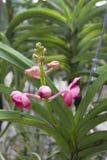 Orquídeas cor-de-rosa (Vanda) Imagens de Stock Royalty Free