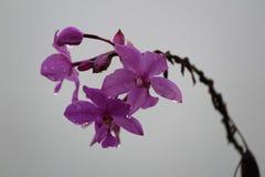 Orquídeas da monção Fotografia de Stock Royalty Free