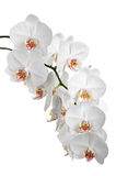 Orquídeas das flores brancas Imagem de Stock Royalty Free