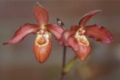 Orquídeas de deslizador da senhora Imagens de Stock