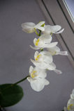 Orquídeas de florescência Foto de Stock
