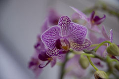 Orquídeas de florescência Fotos de Stock Royalty Free