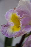 Orquídeas de florescência Fotografia de Stock Royalty Free