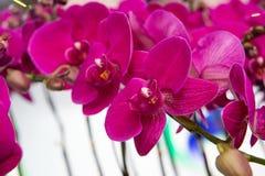 Orquídeas de florescência Fotos de Stock