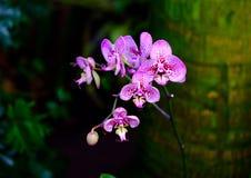 Orquídeas de florescência cor-de-rosa macro Fotos de Stock Royalty Free