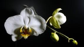 Orquídeas de la luna Imagen de archivo