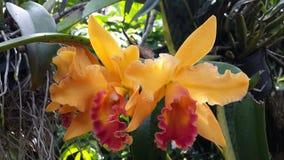 Orquídeas de la naranja de Brassolaeliocattleya Imagen de archivo