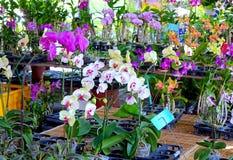 Orquídeas de mariposa tropicales para la venta Imagen de archivo