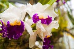 Orquídeas de polilla imagenes de archivo